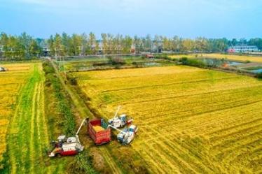 湖北洪湖:再生稻一种两收 增产又增收