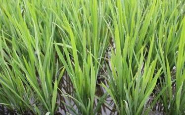 有机大米栽培技术分享