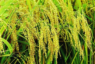 水稻的一生分几个生长期